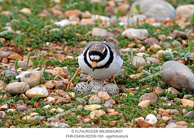 Ringed Plover Charadrius hiaticula adult, settling on four eggs in nest, on vegetated shingle, Rye Harbour, East Sussex, England, july