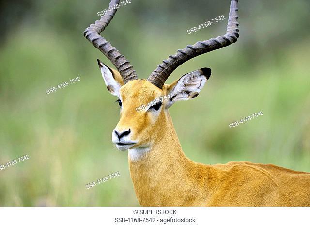 Tanzania, Serengeti National Park, Male Impala