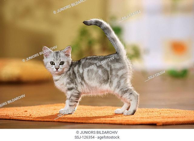 British Shorthair kitten - standing on rug restrictions:Tierratgeber-Bücher / animal guidebooks