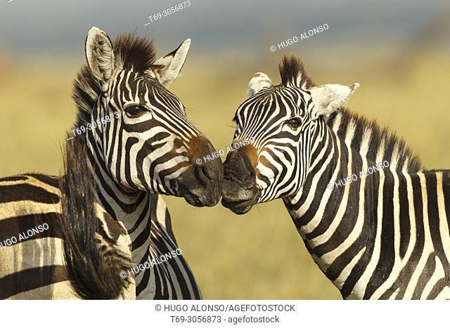Two Grévy's zebra. Equus grevyi. Kenia. Africa