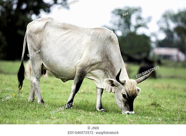 White zebu-cross brood cow grazing in a pasture