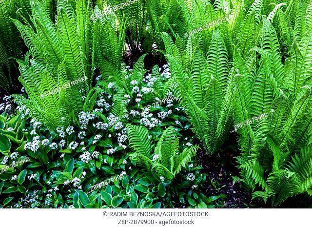 Matteuccia struthiopteris, ostrich fern, fiddlehead fern or shuttlecock fern, and Allium ursinum wood garlic, plants for the shady parts of the garden