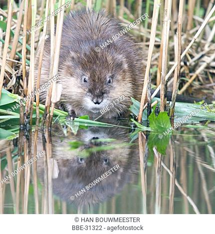 Musk Rat in the reed