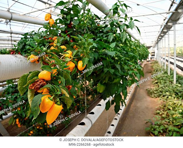 Hydroponic peppers, San Louis Obispo, California, USA