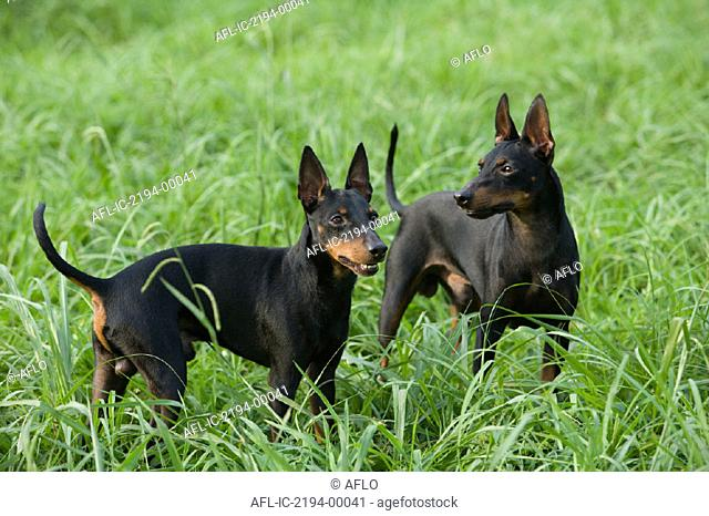 Two Manchester Terrier on a meadow