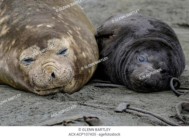 Elephant Seal, Mirounga angustirostris South Georgia Island