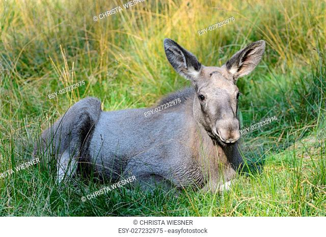 young moose lying on a meadow