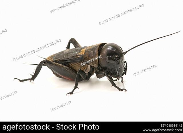 macro of a cricket