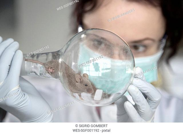 Germany, Research laboratory, Young scientist watching mouse in round bottom flask