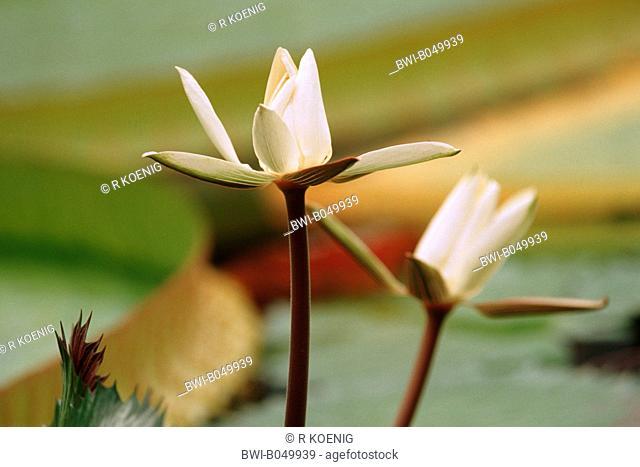Egyptian water lily, white egyptian lotus Nymphaea lotus, flowers