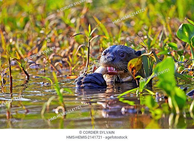 Brazil, Mato Grosso, Pantanal region, Giant Otter (Pteronura brasiliensis), eating a fish