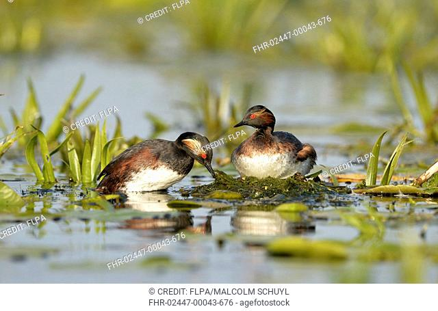 Black-necked Grebe (Podiceps nigricollis nigricollis) adult pair, breeding plumage, re-arranging nesting material at nest, Danube Delta, Tulcea, Romania, May