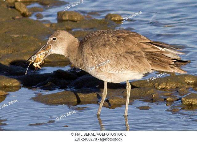 Willet trying to swallow a crab. USA