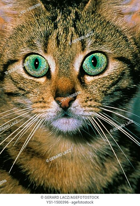 Brown Tabby Domestic Cat, Portrait of Adult with Green Eyes