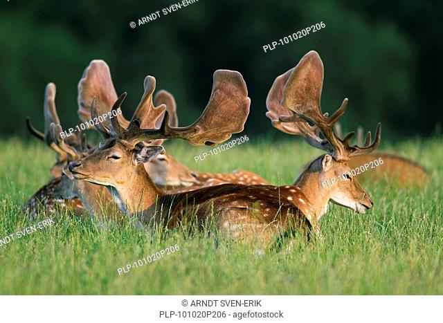 Fallow deer stags Cervus dama / Dama dama with antlers covered in velvet resting at forest's edge, Denmark
