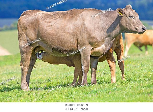 Calf suckling from mother in rural field