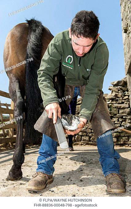 Farrier cleaning a horses hoof and cold fitting a new shoe onto the hoof. North Yorkshire, UK