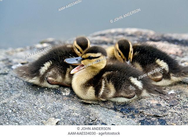 Baby Mallard ducks, Central Park, NYC, NY