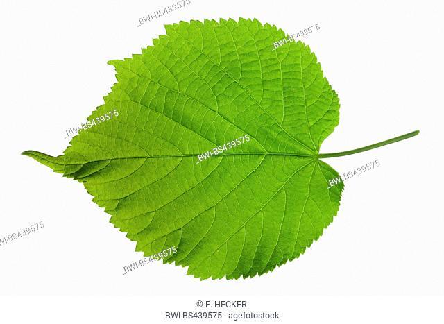 large-leaved lime, lime tree (Tilia platyphyllos), lime leaf, upper side, cutout