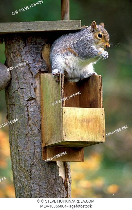 Grey Squirrel - (Sciurus carolinensis). raiding nestbox - UK