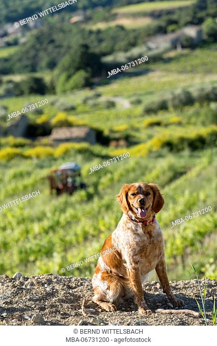 Roaix, Vaucluse, Provence, Provence-Alpes-Côte d'Azur, France, dog in front of vineyards near Roaix, Arondissement Carpentras