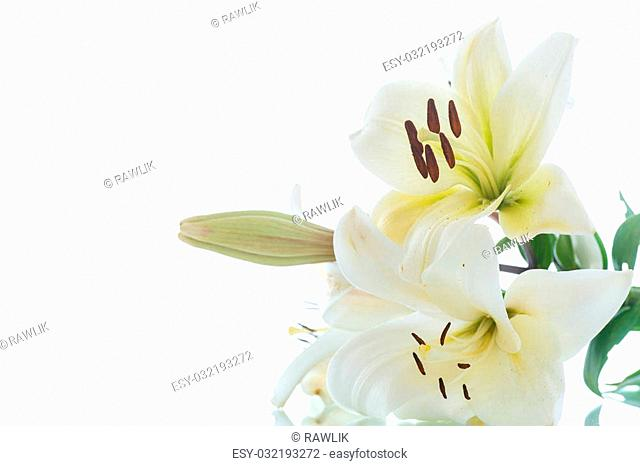 beautiful blooming lily on a white background