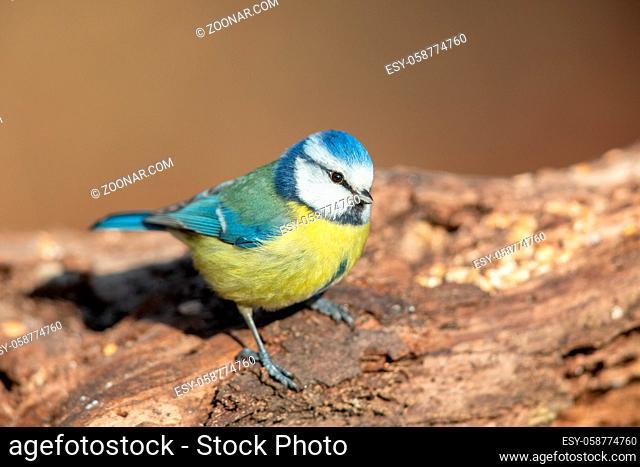 Blaumeise (Cyanistes caeruleus) im Naturschutzgebiet Mönchbruch bei Frankfurt, Deutschland. Blue Tit (Cyanistes caeruleus) in the nature protection area...