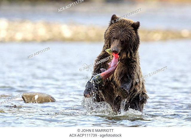 Grizzly bear and sockeye salmon, British Columbia, Canada