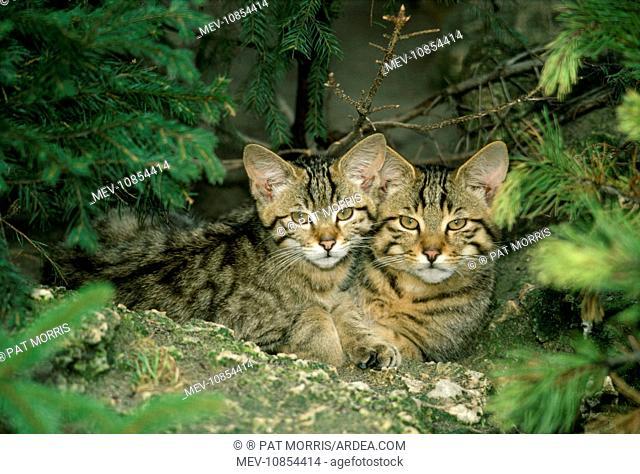 European Wild Cat KITTENS - cheek to cheek (Felis silvestris ). Latin also Felis sylvestris
