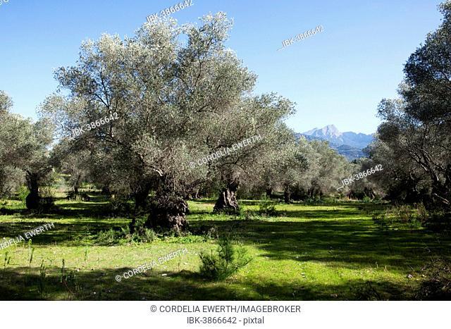 Olive grove, Olive trees (Olea europaea), Serra de Tramuntana, Majorca, Balearic Islands, Spain
