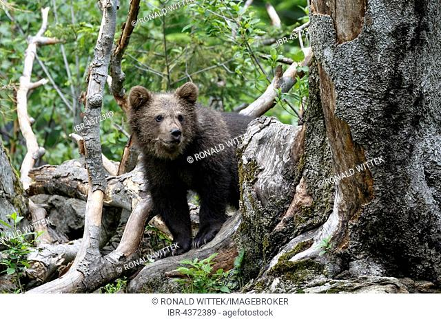 Brown bear (Ursus arctos) cub climbing tree, captive, Bavarian Forest National Park, Bavaria, Germany