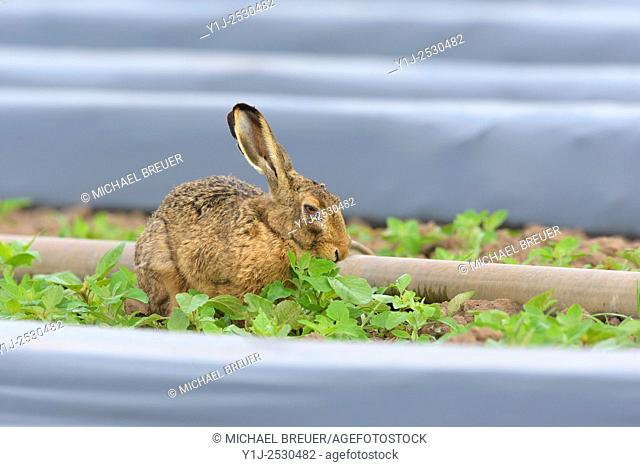 European brown hare (Lepus europaeus) near Irrigation Plant, Hesse, Germany, Europe