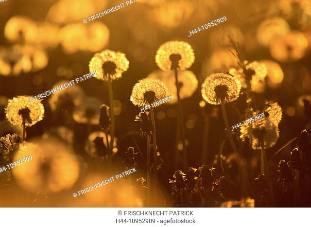 Flower, detail, dusk, twilight, flight, reproduction, sky, ease, dandelion, morning, Morning-red, plant, puff's flower, seed, seed, silhouette, sun, sunrise