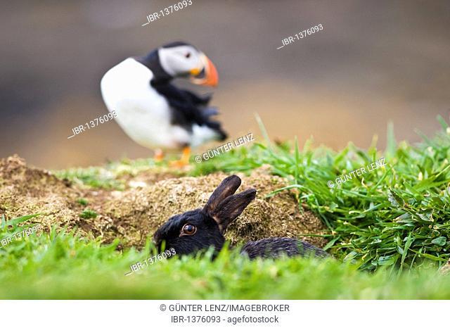 Black rabbit looking out of burrow, Atlantic Puffin (Fratercula arctica) behind, Treshnish Island, Scotland, United Kingdom, Europe