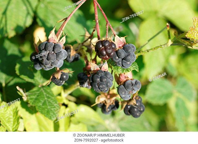 Rubus caesius, Kratzbeere, Dewberry