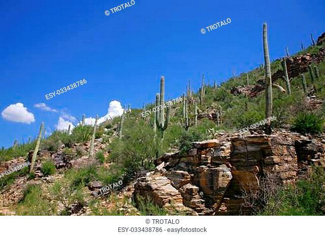Giant Saguaro Cactus, Saguaro National Park, Sonoran Desert, Tucson, Arizona 3