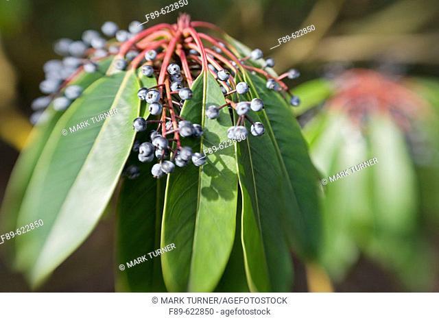 Yuzuri-ha fruit & foliage, blur effect (Daphniphyllum macropodum). VanDusen, Vancouver, BC