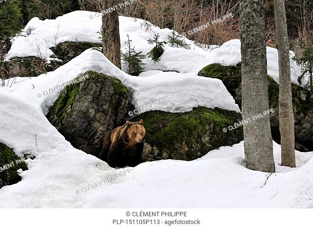 Eurasian brown bear (Ursus arctos arctos) female in the snow in early spring emerging from den among rocks in woodland