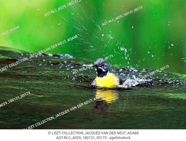 Grey Wagtail, Motacilla cinerea