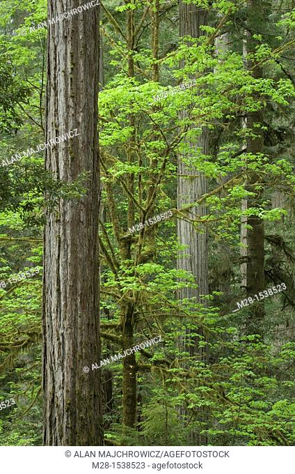 Ancient Redwoods Sequoia sempervirens of the Stout Grove in Jedidiah Smith Redwoods State Park California