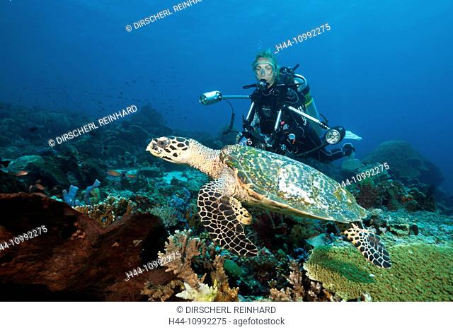 Hawksbill Sea Turtle and Scuba diver, Eretmochelys imbricata, Komodo National Park, Indonesia