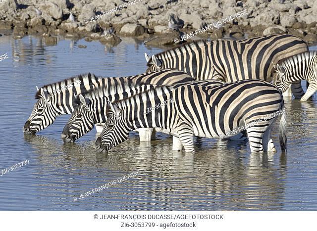 Herd of Burchell's zebras (Equus quagga burchellii), adults with young animal standing in water, drinking, Okaukuejo waterhole, Etosha National Park, Namibia