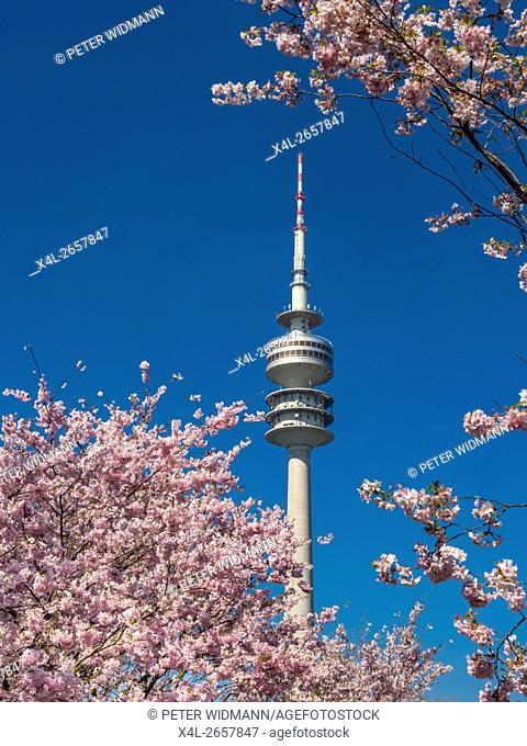 Flowering cherry trees in the Olympic Park in Munich, Bavaria, Germany, Europe
