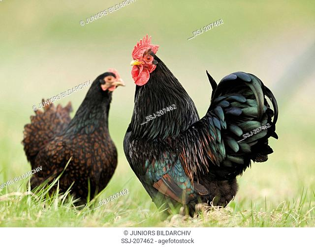 Barnevelder Chicken. Rooster and hen on a meadow. Germany