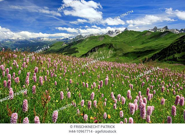 Alp, Alps, view, view from Fronalpstock, mountain, mountain panorama, mountains, mountain spring, flower, flowers, flower meadow, Chaiserstock, flora