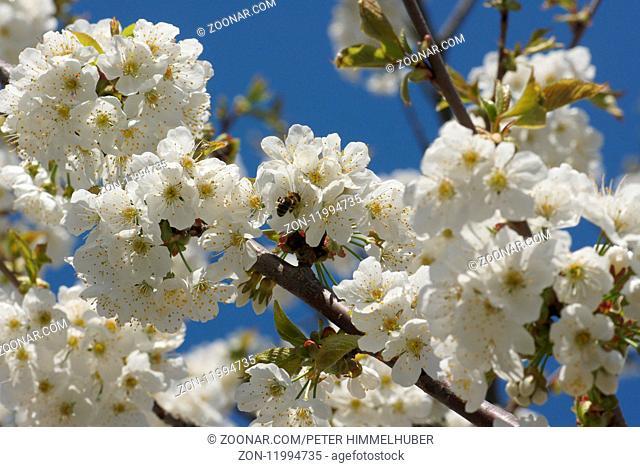 Prunus avium, Suesskirsche, Sweet Cherry, mit Biene, with bee