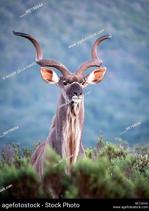 Greater kudu (Tragelaphus strepsiceros) with magnificent horns. Eastern Cape. South Africa