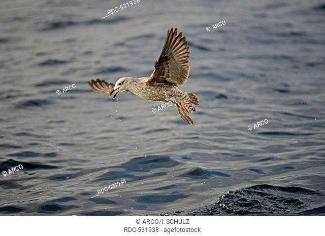 Cape Gull (Larus Larus dominicanus Vetula or Vetula) in juvenile plumage, False Bay, Western Cape, South Africa, Africa