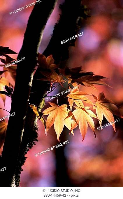 Maple leaves on a tree