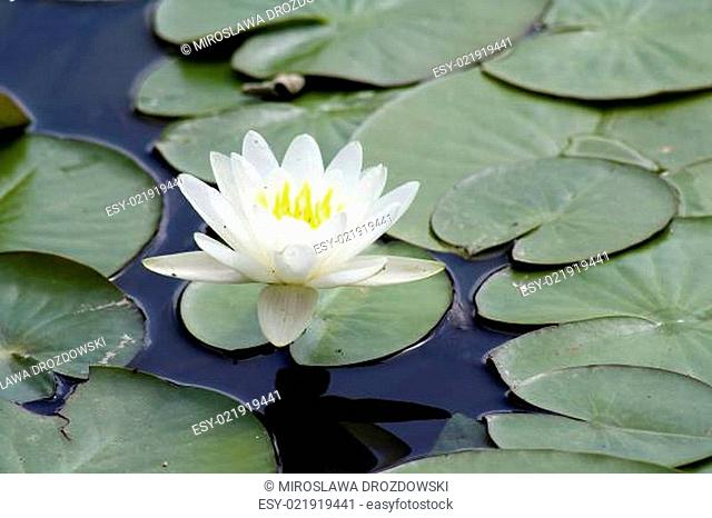 white water lily on the lake